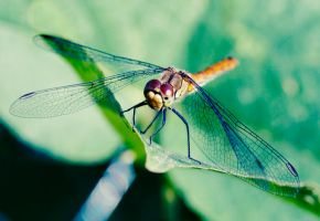 Dragonfly by ladyang