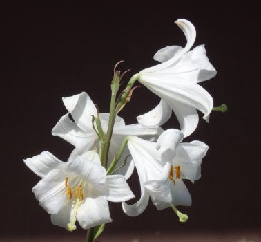 Lilies by Adagem