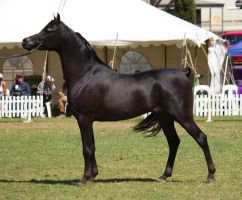STOCK - TotR Arabians 2013-320 by fillyrox