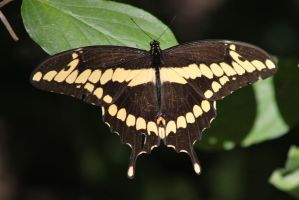 giant swallowtail  Butterfly by bagera3005