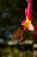 Monarch Butterfly 6 by FallowpenStock