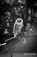 Owl Series - 03 by NXcamera