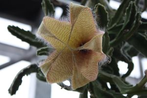 Stapelia gigantea Flower by mehheidi