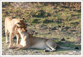 Lionesses - 3660 by eight-eight