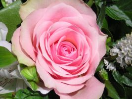 Pink Rose 01 by Jay-B-Rich