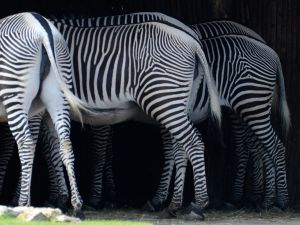 Five Zebras by NB-Photo