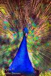 peacock HDR by poseidonsimons-s