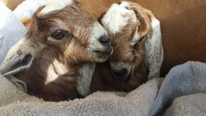 Sister Goats by RM42