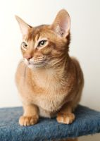 Abyssinian Kitten 20121227-1 by FurLined