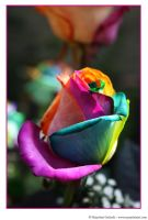 Happy Roses 11 by MarjoleinART-Photos