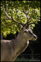 Stag by mark-jones