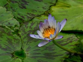 Water Lily 6 by GreyVolk