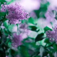 last lilac blossoms... by Wineberry