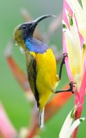 Olive-Backed Sunbird.0140 by DPasschier