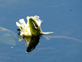 Tiny Water Lily by Michies-Photographyy