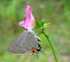 Gray Hairstreak 3 by Squirrelflight-77