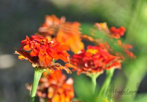 Flowers during the golden hour by miades