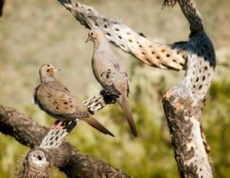 Mourning Doves by Gingerspine