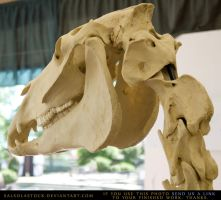 Horse Skeleton 6 by SalsolaStock