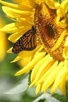 Monarch and Sunflower by CASPER1830