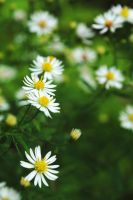 Bushy Aster 2 by LucieG-Stock