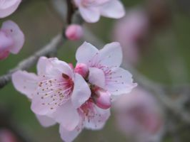 Flower Stock - Peach Blossoms 2 by Spyderwitch