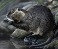 Myocastor coypus by uialwen