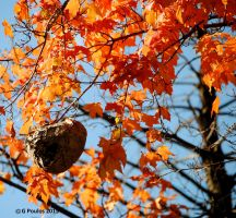 AutumnLeaves With Wasp Nest 0047 10-17-15 by eyepilot13