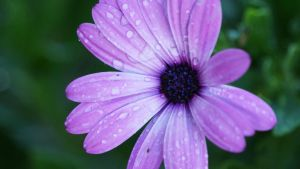 Detailed Wet Purple Flower by manuelo-pro