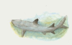 White-tipped reef shark by emera