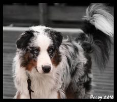 Australian Shepherd by decoy