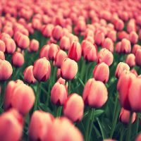 New York's Tulips. by inbrainstorm