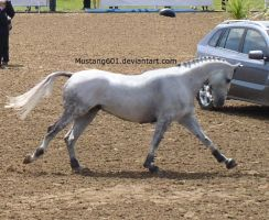 Grey Horse Cantering by MustangStock