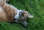 Lynx of Happyness by JRL5