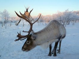 Reindeer husbandry by nordfold