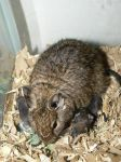 Mother + Hour Old Degu Babies by ShadedRain