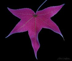 Maple Leaf by Allen59