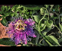 Passion Flower HDR by DwayneF