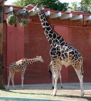 Denver Zoo 67 Giraffe by Falln-Stock