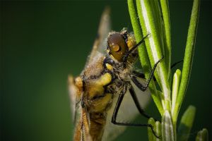 Dragonfly by Fritz42
