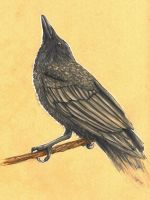 Study - Raven by The-Purring-Teapot