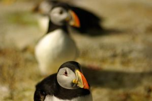 Perturbed Puffin by TheCubanSpy
