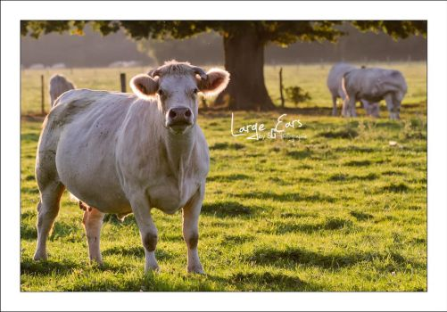 Large Ears by sG-Photographie