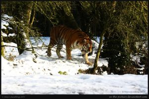 Tiger Trail by In-the-picture