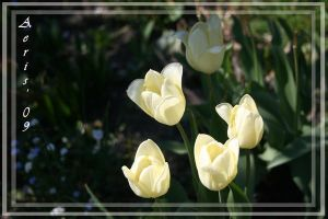 more white tulips by aerisek