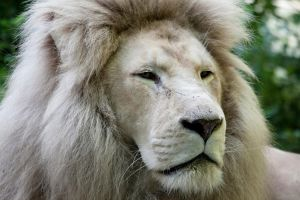 7381 - White lion by Jay-Co