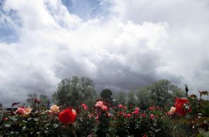 Clouds and Roses by DVanDyk