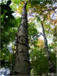 The Tall Birch. by Sparkle-Photography