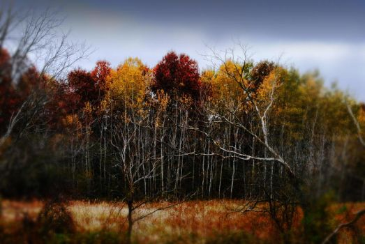 Red and Yellow Birch Trees by bloomingvinedesign