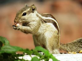 squirrel eating peanut by kumarvijay1708